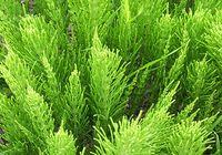 Хвощ полевой для лечения мочекаменной болезни